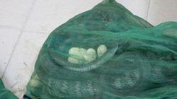 Cận cảnh gần chục trứng rắn trong lô rắn hổ mang bị bắt ở bến Mỹ Đình