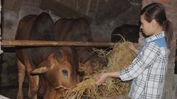 Bò thịt chỉ nên nuôi tối đa tới 20 tháng tuổi