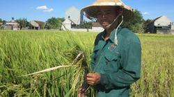 Vụ lúa lép: Nếu hỗ trợ bằng giống, nông dân sẽ tiếp tục bị thiệt hại