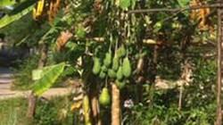 Đổ xô xem cây đu đủ đực ra hàng trăm quả