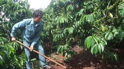 Bón phân đa yếu tố  NPK  Văn Điển chuyên dùng cho cây cà phê