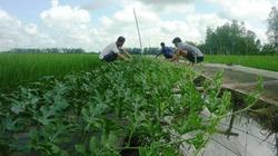 Thu nhập khá từ trồng dưa hấu trên bờ ruộng