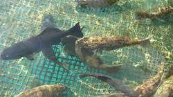 Trị bệnh do vi khuẩn  Vibrio ở cá mú