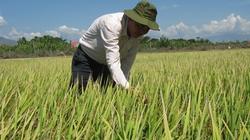 Triển vọng giống lúa kháng rầy ML 202 ở Ninh Thuận