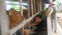 Phát triển đàn bò phụ thuộc nguồn...  tinh ngoại!