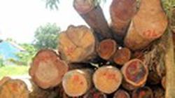 Gia Lai: Rừng bị triệt hạ hàng loạt