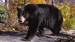 Gấu khổng lồ đột nhập, tấn công bà cụ 82 tuổi bị liệt