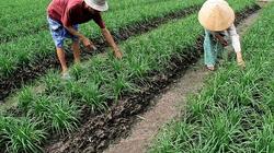Giải pháp xen canh lúa - màu
