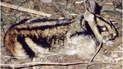 Phát hiện thỏ vằn tại Khu bảo tồn Sao la