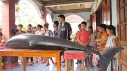 Quảng Ngãi: Cá voi dài hơn 2m mắc cạn