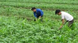 Trồng ngô, đậu tương thay cây lúa: Cầu cao nhưng cung ít