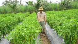 Trồng ớt sừng trâu lời gấp 10 lần trồng lúa