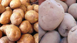 Co.opmart không bán khoai tây Trung Quốc