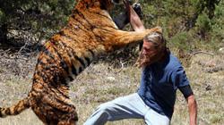 Thót tim cảnh huấn luyện viên thản nhiên đứng cho hổ vồ