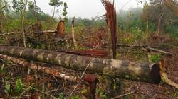 Gốc cây bị chặt phá nảy mầm... chủ rừng mới biết