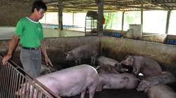 Miền Bắc: Giá lợn tăng, chủ trại vẫn lỗ