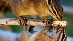 Sóc chuột đu cây cũng tranh thủ... trao nụ hôn