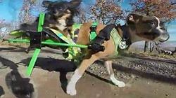 Kinh ngạc: Chó hai chân chạy nhanh như... ngựa
