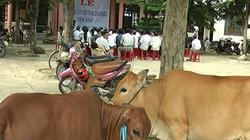 Quảng Nam: Hỗ trợ nông dân nuôi bò
