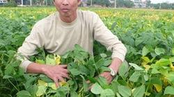 Tăng hiệu quả bón phân cho đậu nành