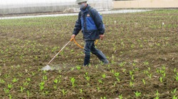 Thiếu vắng giống nội, đồng ruộng Việt Nam ngập tràn giống ngoại
