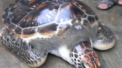 TT-Huế: Dân bắt được rùa biển sắp tuyệt chủng