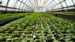 Trồng rau nhà kính ở cánh đồng Nga