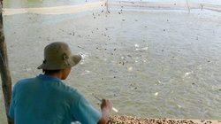 Người nuôi cá tra bị chiếm dụng vốn