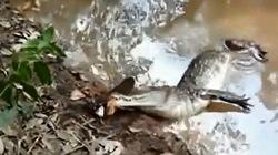 Clip cá sấu bị một con lươn điện làm cho tê liệt
