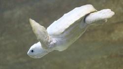 Chùm ảnh rùa bạch tạng kỳ dị tuyệt đẹp