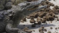 Vì sao cá sấu ở Zimbabwe được cho... ăn chay?