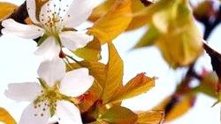 Cây anh đào nảy mầm từ hạt giống bay trong vũ trụ, nở hoa sớm thần kì