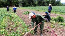 Điện Biên: Xây dựng mô hình trồng khoai lang