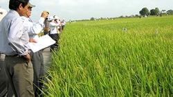 Xây dựng cơ cấu giống lúa phù hợp xuất khẩu