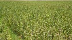 Dinh dưỡng hiệu quả cho mè trồng thay lúa