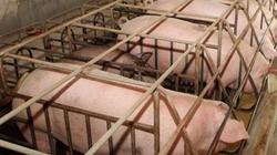 Câu lạc bộ của những người nuôi lợn