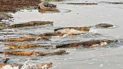 Kinh hoàng 100 con cá sấu đói săn, giết đàn hà mã