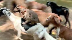 Kỳ lạ cảnh khỉ cưỡi và điều khiển đàn dê về trang trại ở Ấn Độ