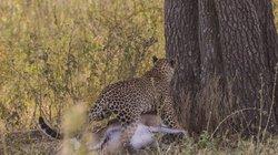 Báo đốm siêu khỏe, tha con mồi khủng lên ngọn cây