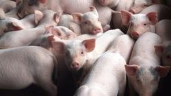 Hà Tĩnh: Tập huấn kỹ thuật nuôi lợn