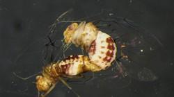 Quái dị côn trùng cái có cơ quan sinh dục... đực