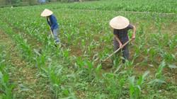 Cao Bằng: Cung ứng hơn 7,3 tấn ngô giống cho nông dân