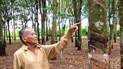 Thanh Hóa: Trồng cây cao su thay thế vườn mía kém năng suất