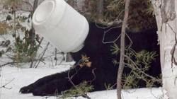 """Cảnh sát giải cứu gấu tham ăn rơi vào """"hiểm cảnh"""""""
