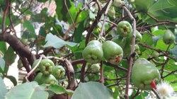 Ký ức tuổi thơ từ cây trái miệt vườn