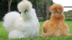 Ngắm đàn gà Silkie có bộ cánh đẹp như chó lông xù
