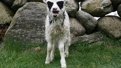 """Kỳ lạ: Cừu có khuôn mặt giống """"người Dơi"""" đến khó tin"""
