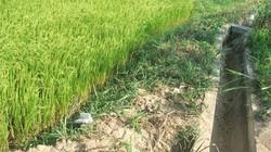 Phú Yên: 250ha lúa mất trắng do thiếu nước