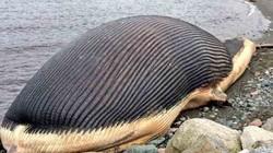 Nguy cơ xác cá voi khủng 60 tấn... phát nổ