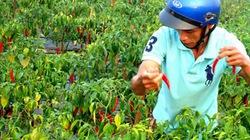 """Người trồng ớt """"ngậm cay nuốt đắng"""""""